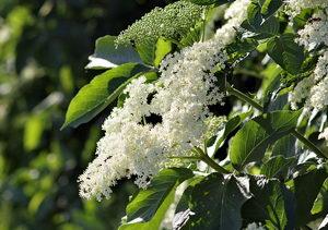 alergie v červnu, černý bez