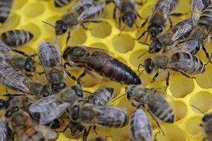 včelí královna, včelí matka, snubní let