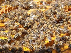 jak pracují včely v úlu