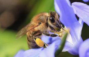 jak včely sbírají pyl