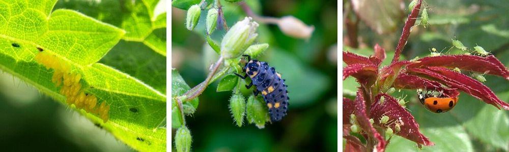 Užitečný hmyz na zahradě, slunéčko sedmitečné, larva a vajíčka slunéčka sedmitečného