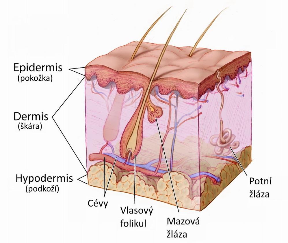 vrstvy lidské kůže
