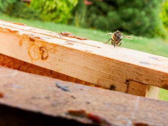 včelka vedle propolisu