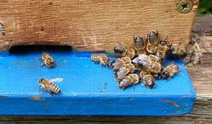 Vyhánění trubců z úlu