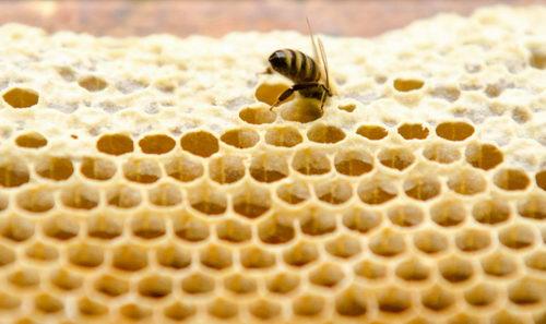 Jak vzniká včelí vosk, včelí plástve Pleva