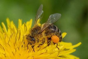 včelka sbírá pyl
