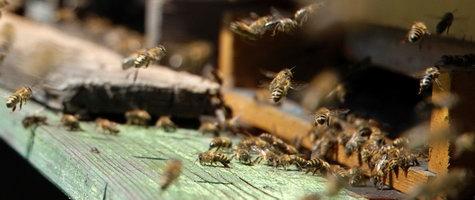 wie bienen produzieren honig wo gibt es pleva. Black Bedroom Furniture Sets. Home Design Ideas