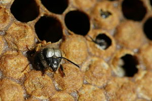líhnoucí se včela
