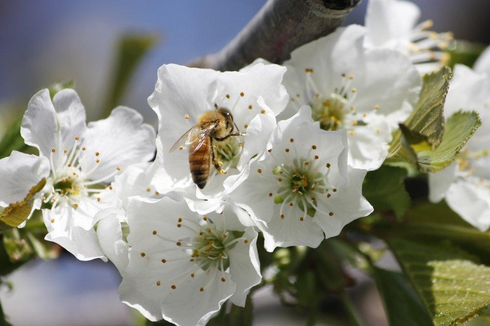 třešeň, nektarodárné stromy