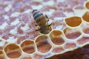 Jak včely vyrábí med, včela na plástu, pleva