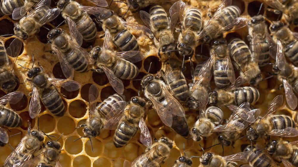 včelí královna a včelí dělnice na plástu