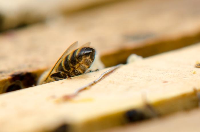 Získávání včelího jedu