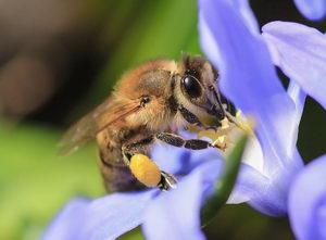 včelka s pylovými rousky