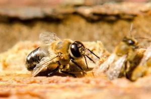 kalendář včelaře, trubec