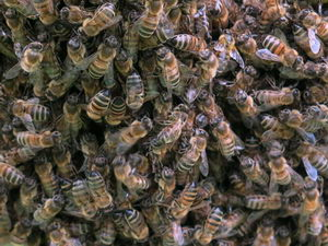 včely tvoří zimní chomáč