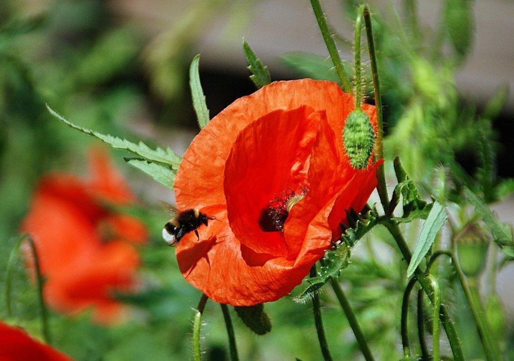 Vlčí mák, květiny pro včely