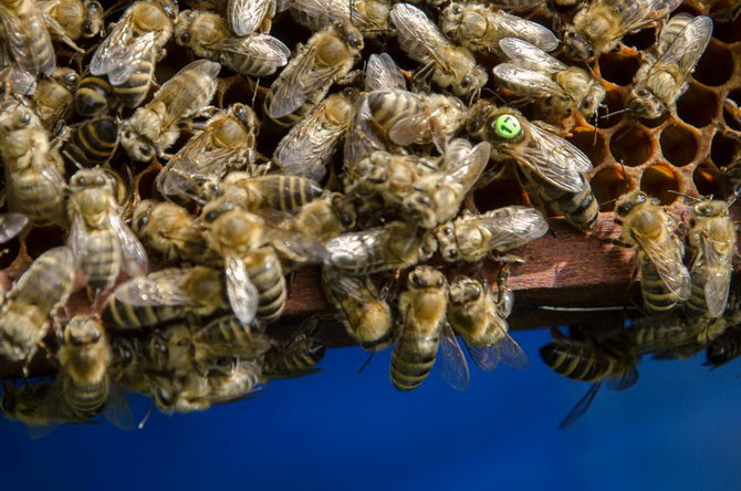 matka, včelí královna