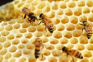 včely staví plástev z vosku