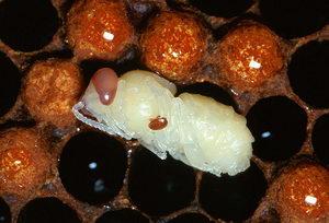 včelí larva napadená kleštíkem včelím, varoóza