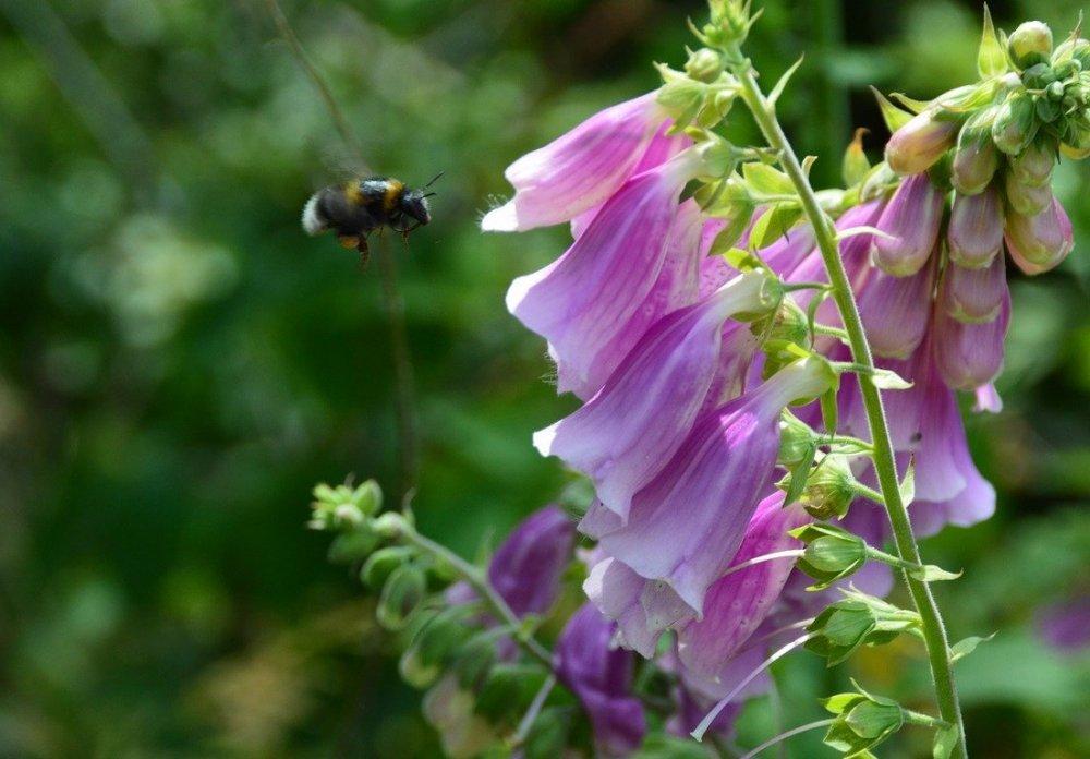 náprstníky, medonosné rostliny na zahradu
