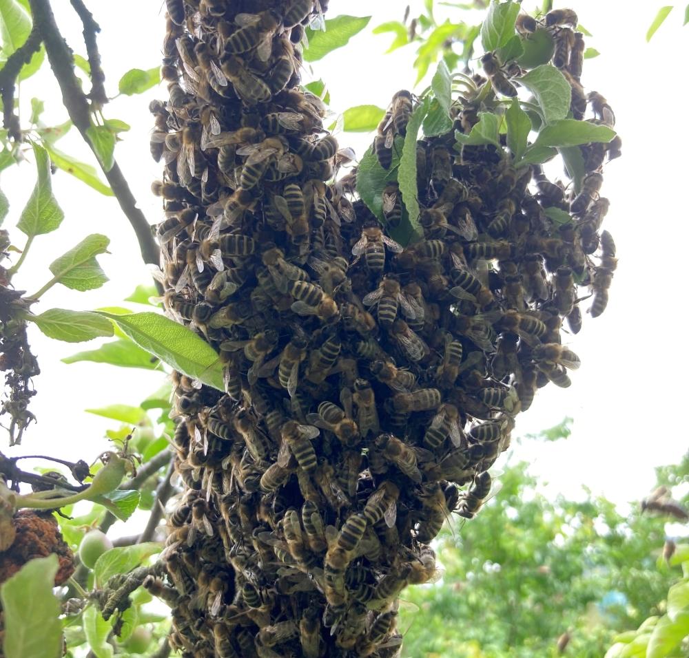 proč se včely rojí, včelí roj