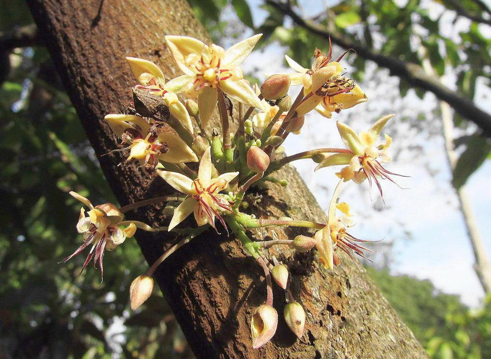 kakaové boby, květ kakaovníku, Pleva