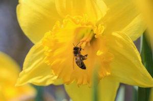 včela na narcisu, včely v dubnu