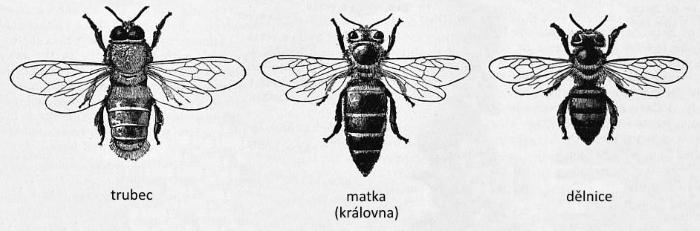 trubec, včelí matka, královna, včela dělnice