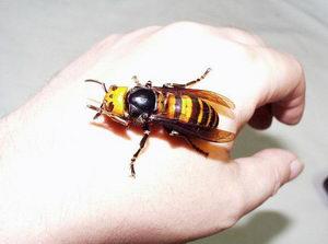 včelí škůdci, sršeň mandarínská