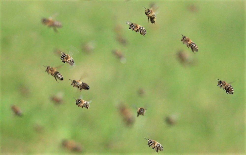 svatební let včelí královny