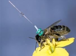 Anténka umístěná na každé včele (Zdroj: The Telegraph)