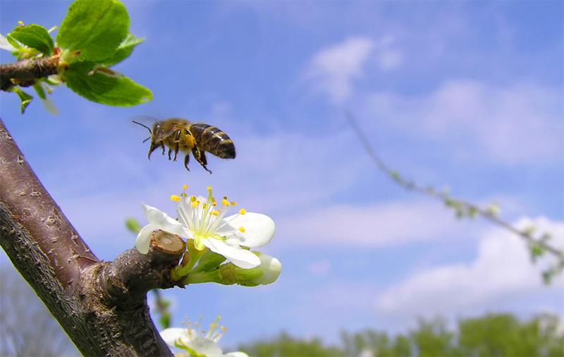 Včelka při opylování