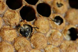 líhnutí včely medonosné