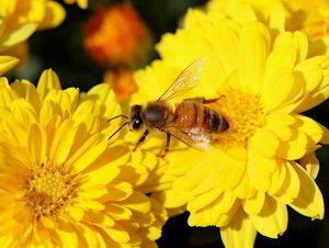 včela na chryzantémě