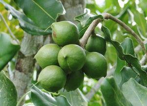 makadamiový olej v kosmetice, makadamiové ořechy, olej z makadamiových ořechů