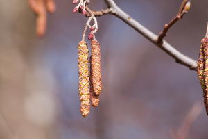 alergie v únoru, olše