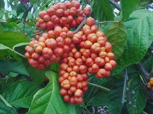 guarana, recepty, pleva