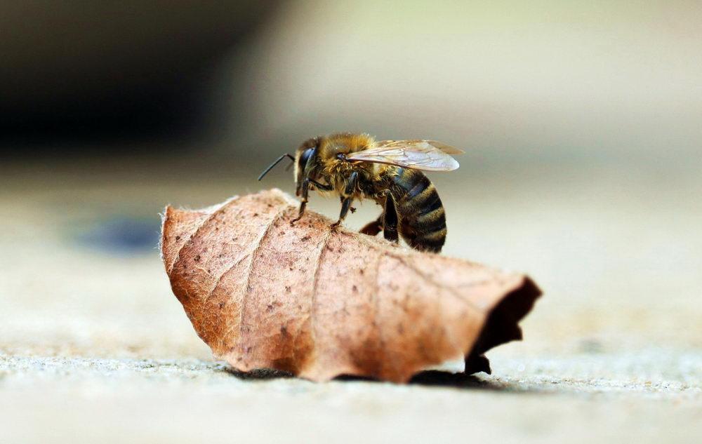 včela na uschlém listu, podzim