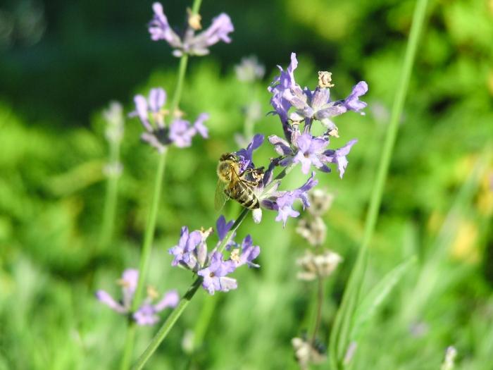 jak včely získávají med, dárkové sady Pleva