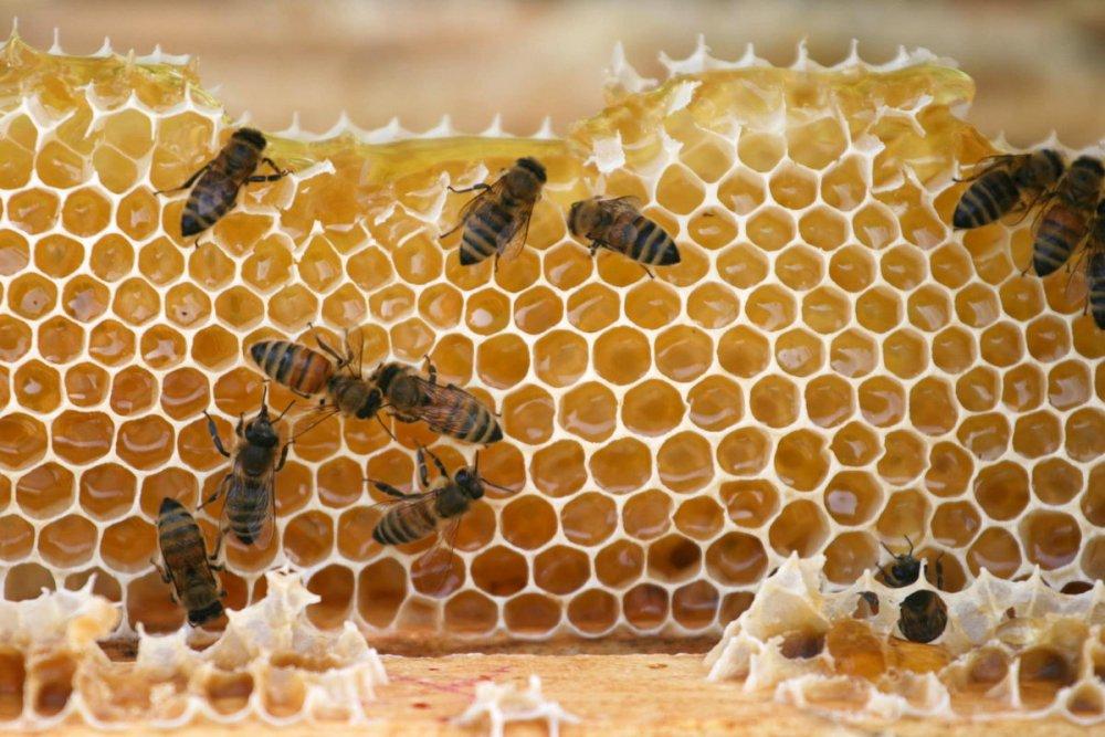 kolik medu odebírat včelám, plástev medu