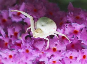 včelí škůdci, pavouk běžník kopretinový