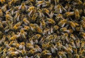 včely v prosinci