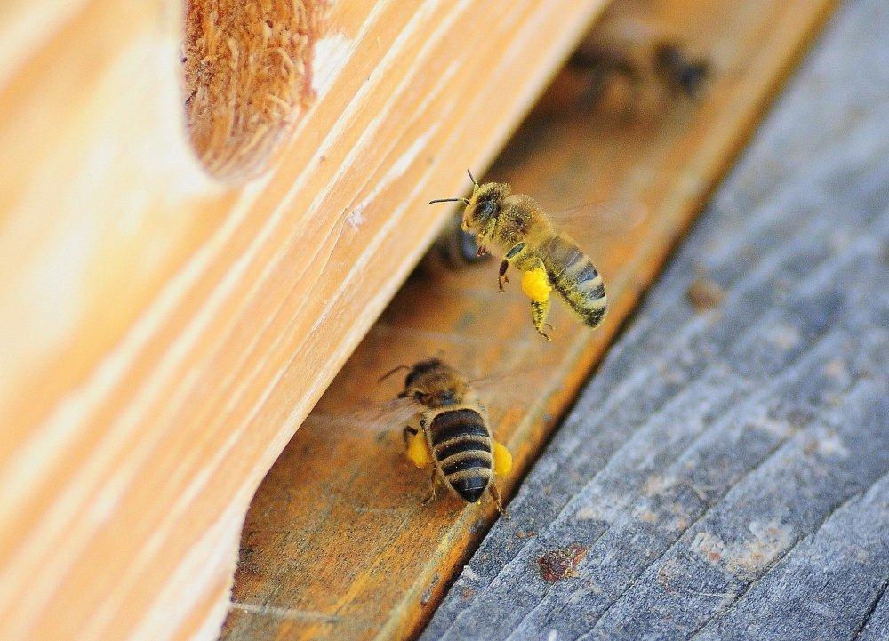 Včely přinášejí do úlu pylové rousky