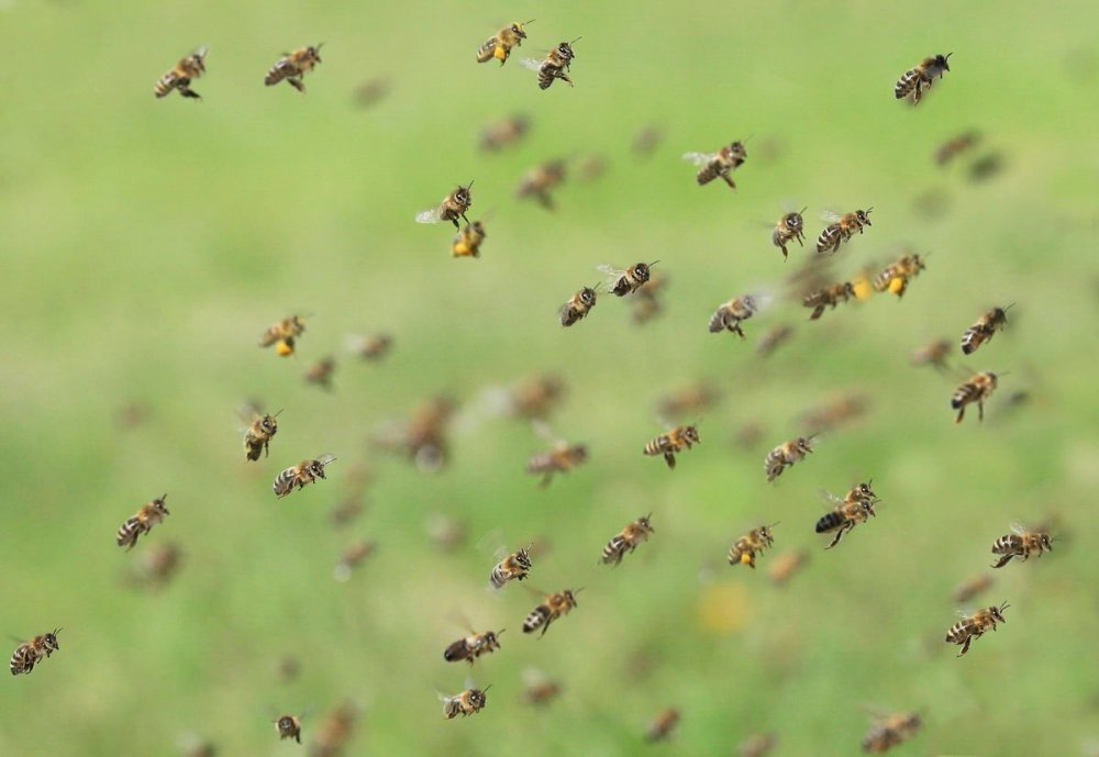 Včely letící, získávání včelího jedu