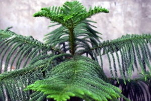 blahočet ztepilý, Araucaria heterophylla, vánoční stromeček pokojový