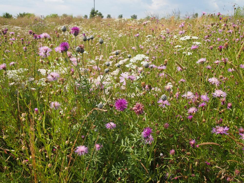 louka nebo anglický trávník