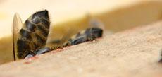 Včelí žihadlo - zadek, zadeček