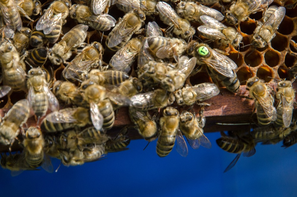 včelí matka, role včel v úlu
