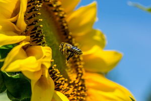 včelí vosk, vznik, využití, pleva