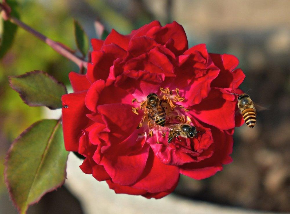 růže, medonosné rostliny pro zahradu